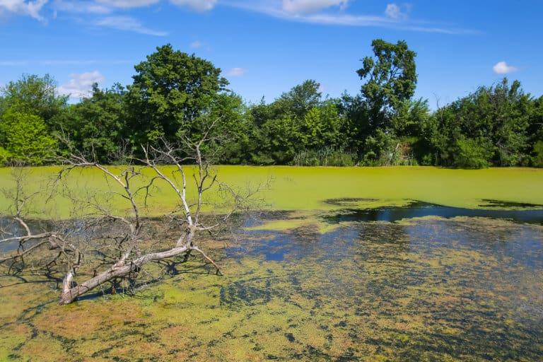 dirty blue-green algae blooms in river